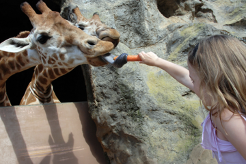 Tooronga Zoo Feeding a Giraffe
