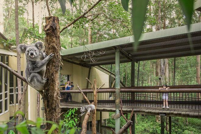 Koala Logan City bush walk pram