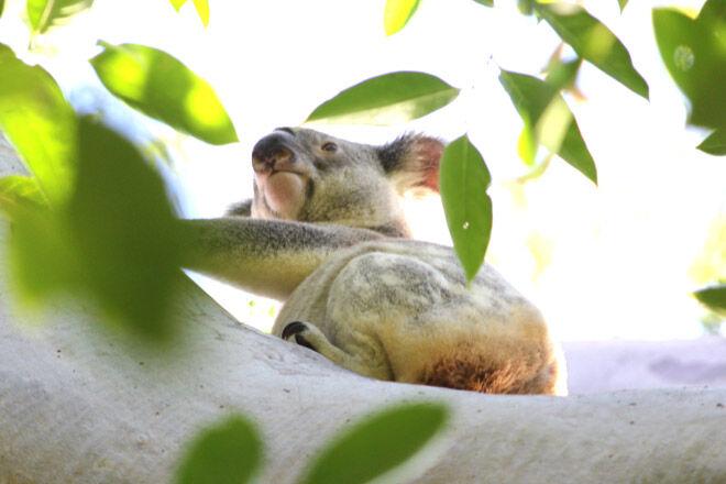 noosa walk pram koala