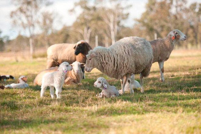 kid open day farm sheep Queensland