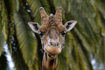Melbourne Zoo Giraffe