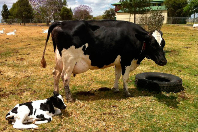 cow milk open day holiday kids farm