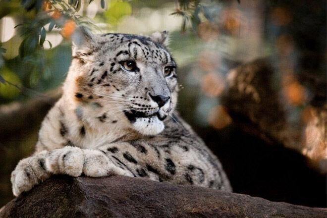 Billabong-zoo-snow-leopard