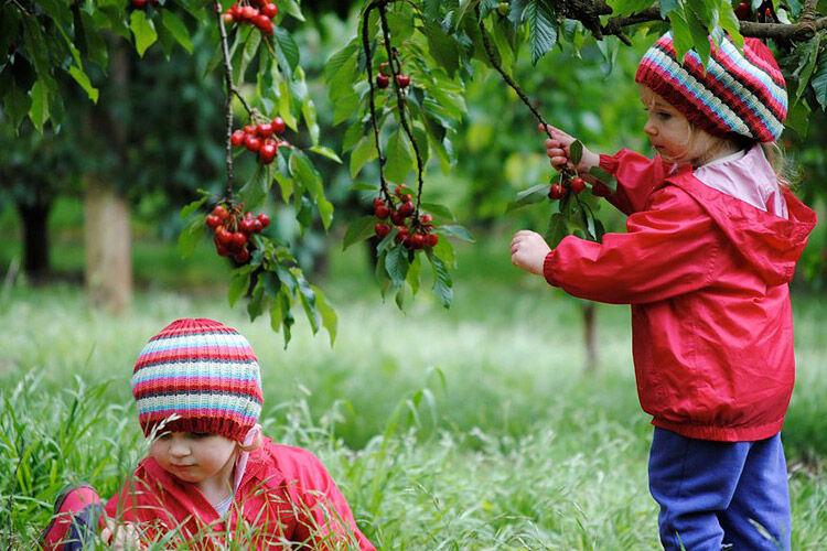 ripe n ready farm cherries cherry victoria kid pick food