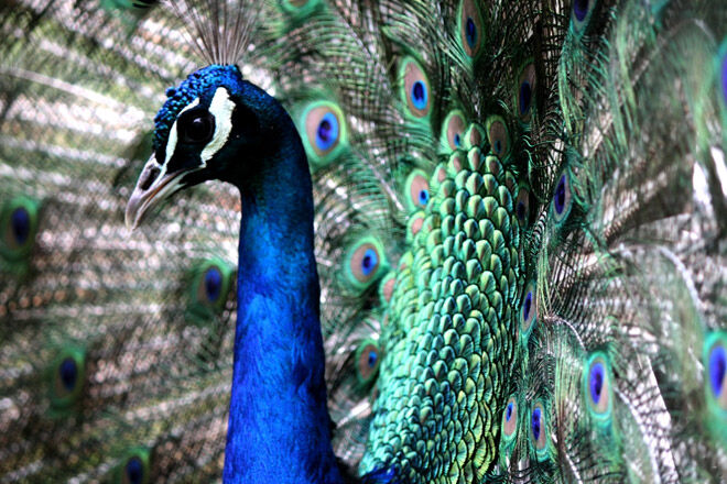 Great Ocean Road Wildlife Park peacocks