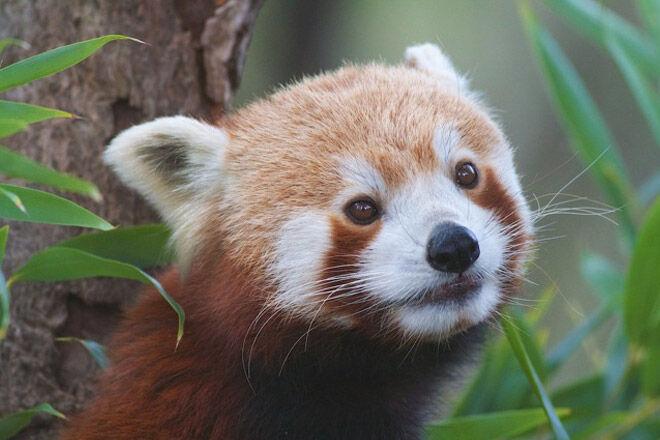 red panda Halls Gap Zoo