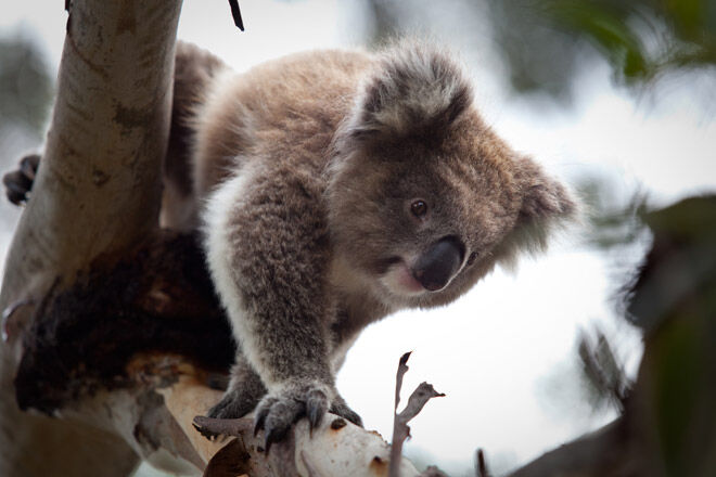 Koala Conservation Centre victoria