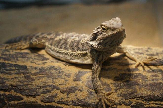 Kyabram Fauna Park lizard