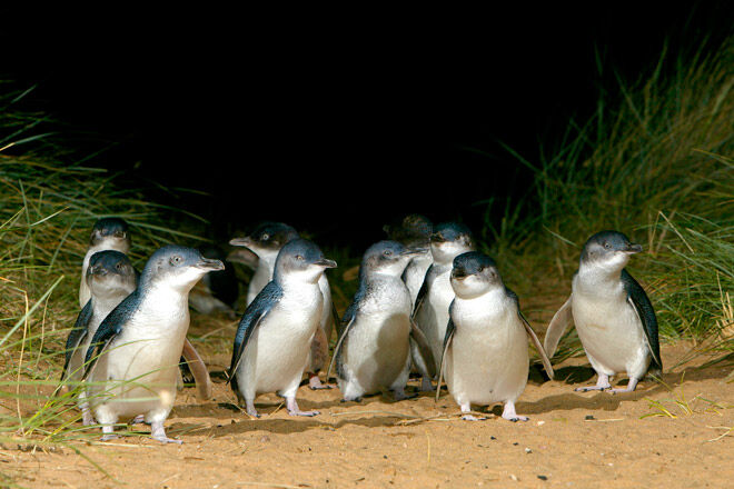 phillip island victoria kid penguins