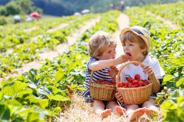 Strawberry farming in Queensland