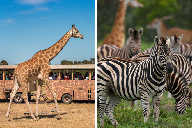 animal african kid victoria giraffe zebra safari Werribee Open Range Zoo