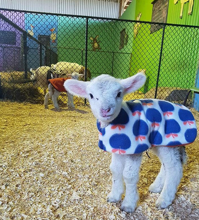Chesterville Farm lambs in coats