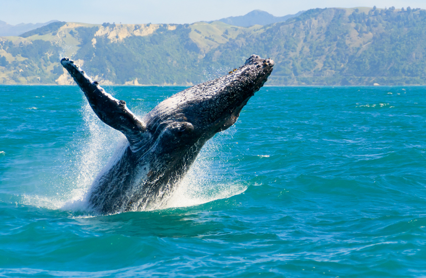Whale watching in Apollo Bay, Victoria