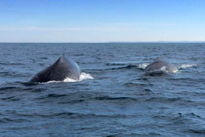 two whales off Phillip Island, whale watch in Victoria