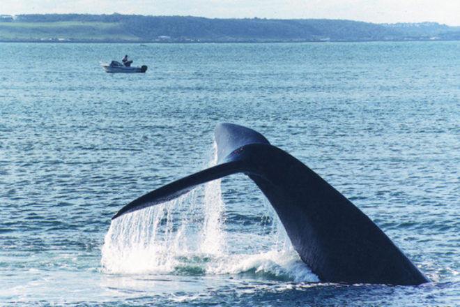 whale watching Portland, Victoria