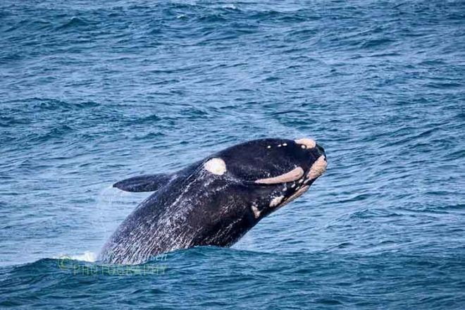 southern right whale Warrnambool