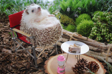Azuki the Japanese pygmy hedgehog