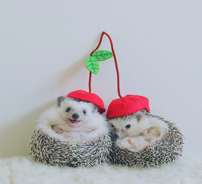 Azuki the Japanese pygmy hedgehog snuggling with a mate