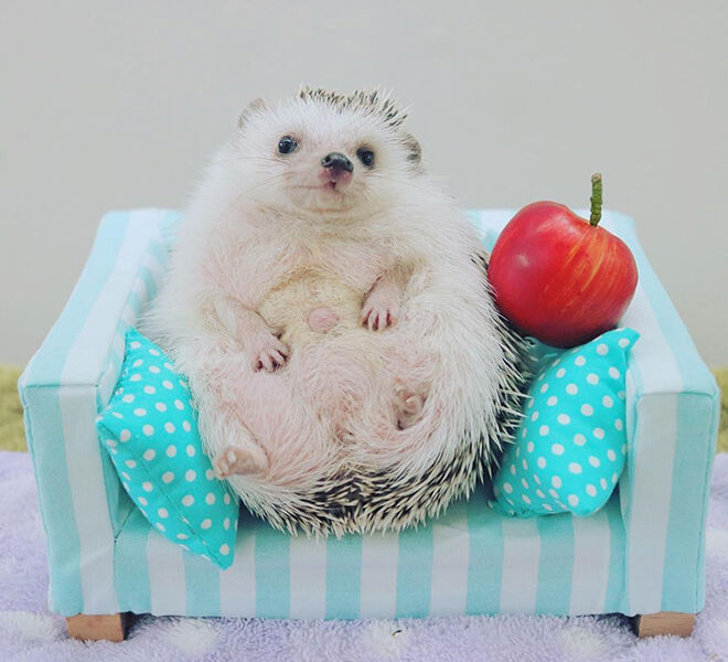 Azuki the Japanese pygmy hedgehog relaxing on the sofa