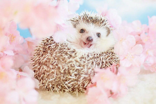 Azuki the Japanese pygmy hedgehog amongst the flowers