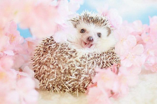 Azuki the Japanese pygmy hedgehog amongst the flowers