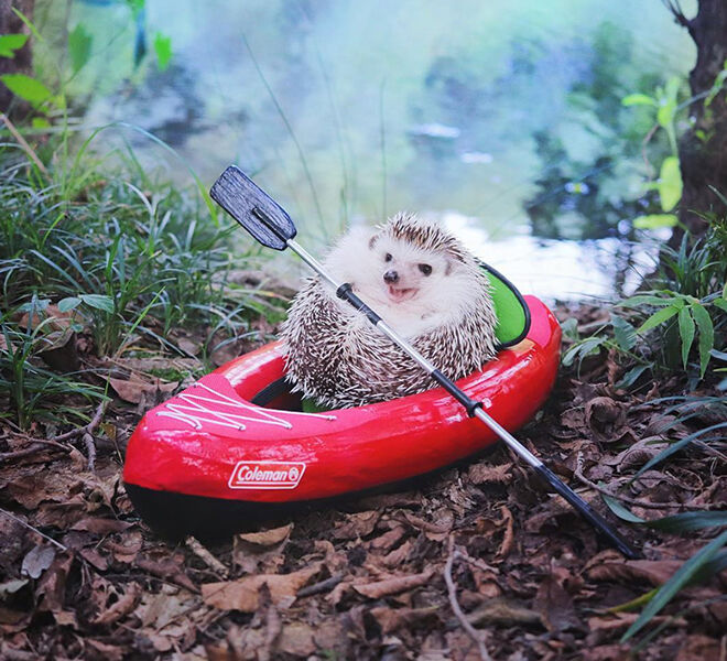 Azuki the Japanese pygmy hedgehog gone camping