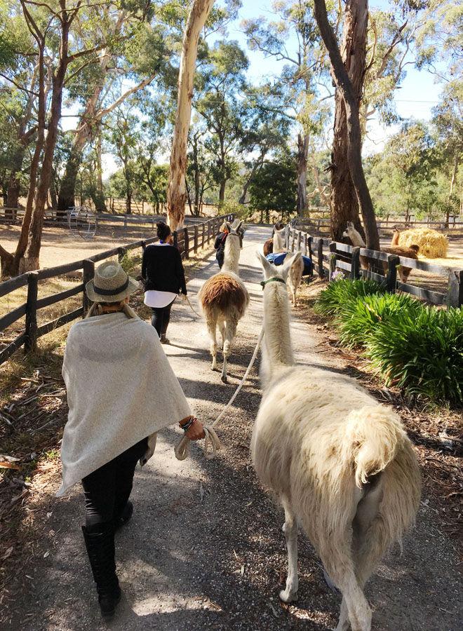 Walking trek with llamas at Hanging Rock