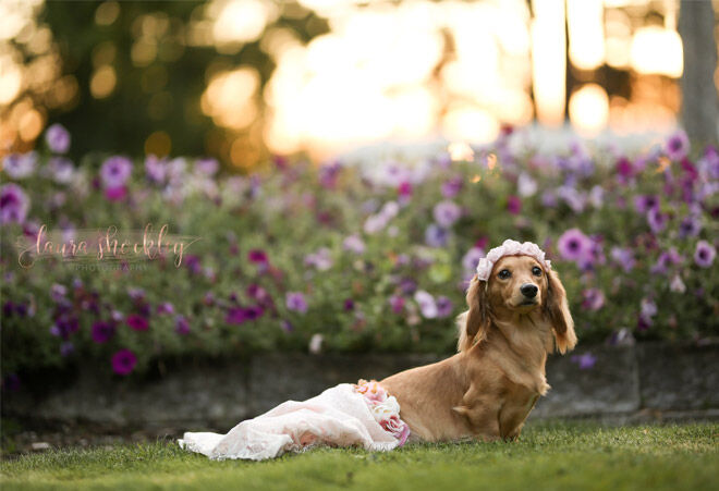 Maternity photo shoot for dogs